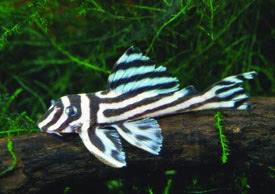 Hypancistrus_zebra.jpg