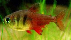 Hyphessobrycon flammeus - Lángvövös pontylazac
