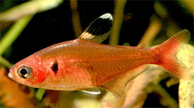 Hyphessobrycon haraldschultzi - Crystal Red Tetra