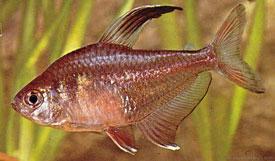 Hyphessobrycon ornatus - Rózsalazac