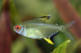 Hyphessobrycon pulchripinnis - Citromlazac