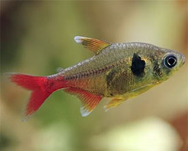 Hyphessobrycon roseus - Yellow Phantom Tetra