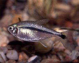 Hyphessobrycon scholzei - Ezüstös pontylazac