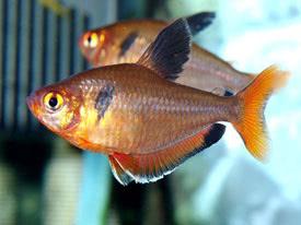 Hyphessobrycon serpae - Serpalazac