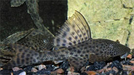 Hypostomus plecostomus - Suckermouth catfish, Pleco