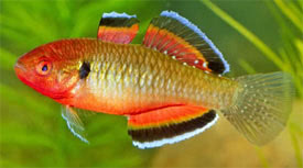 Hypseleotris compressa - Empire Gudgeon