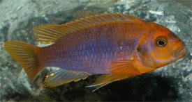 Iodotropheus sprengerae - Lavender Mbuna, Rusty Cichlid Tropical ...