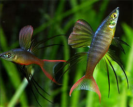 Iriatherina werneri - Threadfin Rainbowfish