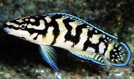 ... - Checkerboard Julie, Marliers julie Tropical Fish Diszhal.info