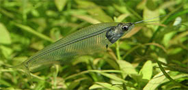 Kryptopterus vitreolus - Asian Glass Catfish