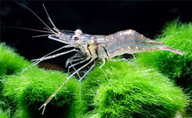 Macrobrachium lanchesteri - Glass shrimp, Ghost shrimp