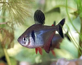Megalamphodus megalopterus - Fekete fantomlazac