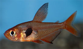 Hyphessobrycon sweglesi - Red phantom tetra Tropical Fish Diszhal ...