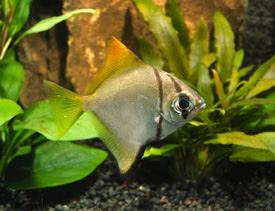 ... argenteus - Mono, Fingerfish Tropical Fish Diszhal.info