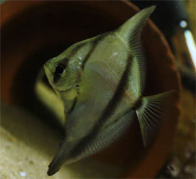 Monodactylus sebae - Seba Mono Tropical Fish Diszhal.info
