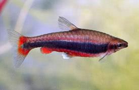 Nannostomus beckfordi aripirangensis - Díszes törpeszájú hal