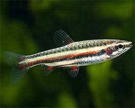 Díszes törpeszájú halak