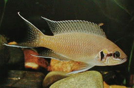 ... - Lyretail cichlid, Fairy cichlid Tropical Fish Diszhal.info