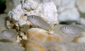 Neolamprologus multifasciatus - Many Banded Shell-Dweller