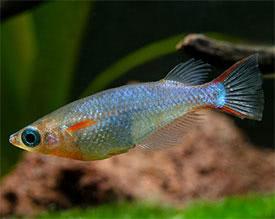 Tetraodon miurus - Congo Puffer Tropical Fish Diszhal.info