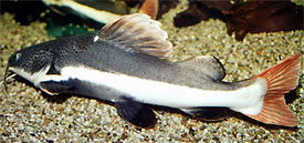 Phractocephalus hemioliopterus - Red tailed catfish
