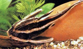 Platydoras armatulus - Striped Raphael Catfish