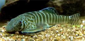 Hillstream Loach | Sewellia Lineolata Tiger Hillstream Loach Tropical Fish