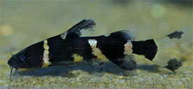 Pseudomystus siamensis - Asian Bumblebee Catfish, Siamese Catfish