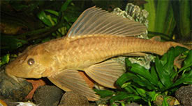 Pterygoplichthys pardalis - Amazon sailfin catfish