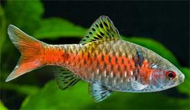 Andinoacara rivulatus - Green Terror Tropical Fish Diszhal.info