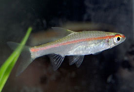 Rasbora pauciperforata - Red-line rasbora
