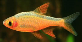 Rasboroides vaterifloris - Orange-finned barb