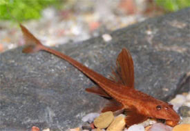 Rineloricaria lanceolata - Chocolate-colored catfish