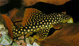 Scobinancistrus aureatus - L-14 catfish, Sunshine pleco