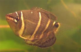Sphaerichthys osphromenoides - Chocolate Gourami Tropical Fish ...