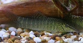 Syncrossus beauforti - Chameleon Loach