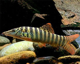 Syncrossus berdmorei - Redfin Tiger Loach