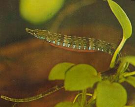 Enneacampus ansorgii - African Freshwater Pipefish Tropical Fish ...