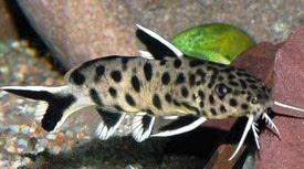false spotted catfish