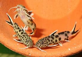 ... Catfish synodontis petricola - even-spotted synodontis, false cuckoo