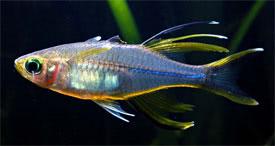 Marosatherina ladigesi - Celebes Rainbowfish Tropical Fish Diszhal ...