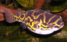 Tetraodon biocellatus - Figure Eight Puffer, Eye Spot Puffer