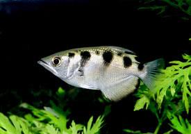 Toxotes jaculatrix - Lövőhal