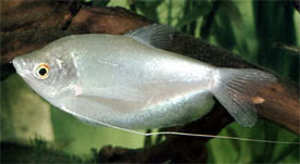 Trichopodus microlepis - Moonlight Gourami, Moonbeam Gourami