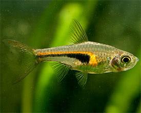 ... hongsloi - Red-lined dwarf cichlid Tropical Fish Diszhal.info