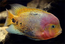 Paraneetroplus synspilus - Flower horn fish