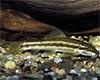 Gyrinocheilus aymonieri - Moszatevő márna