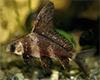 Myxocyprinus asiaticus - Vitorlás nyúlhal