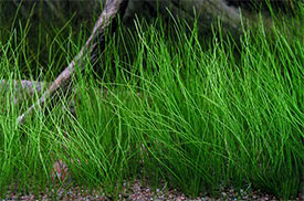 Eleocharis acicularis - Dwarf Hairgrass