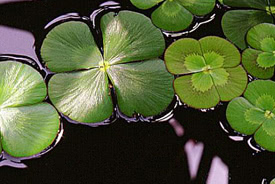 Marsilea quadrifolia - European waterclover